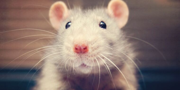 The secret to a rat's sense of touch? It's all in how the whiskers bend thumbnail