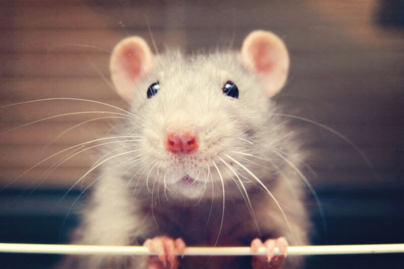 Photo of cute face of laboratory rat.