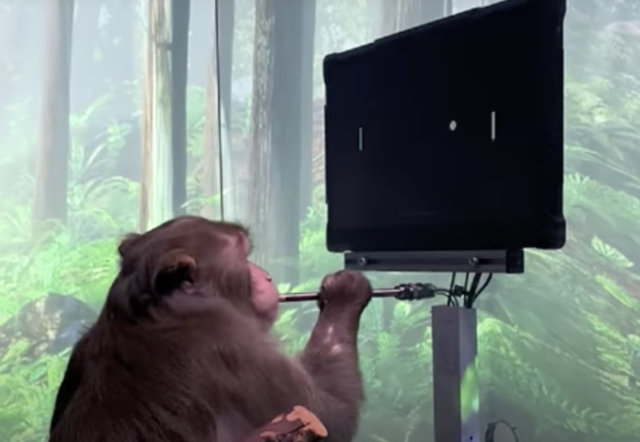Pager, a 9-year-old Macaque, plays MindPong with his Neuralink.