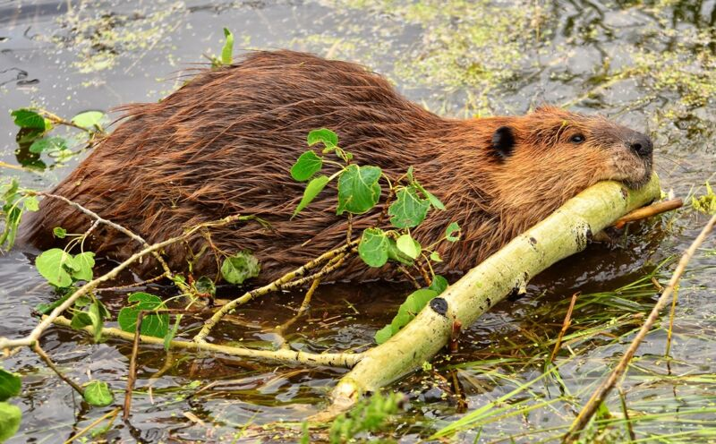 A beaver in shallow water, chewing on a branch.