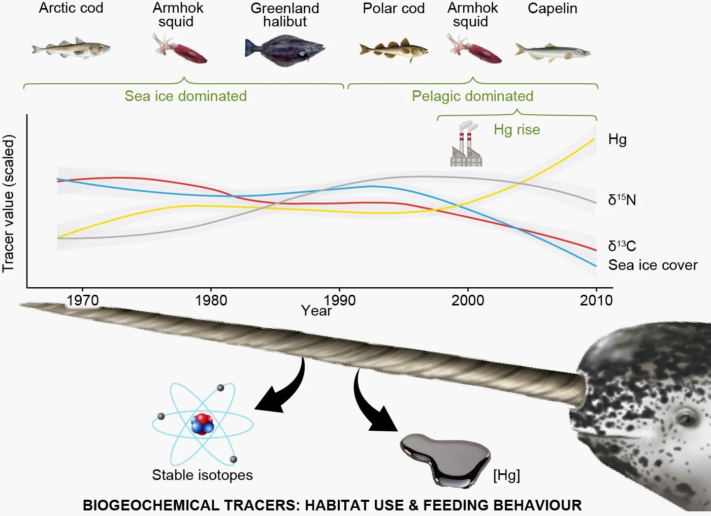 As sea ice has diminished, narwhals have shifted their diets. At the same time, mercury levels (Hg) have been on the rise.