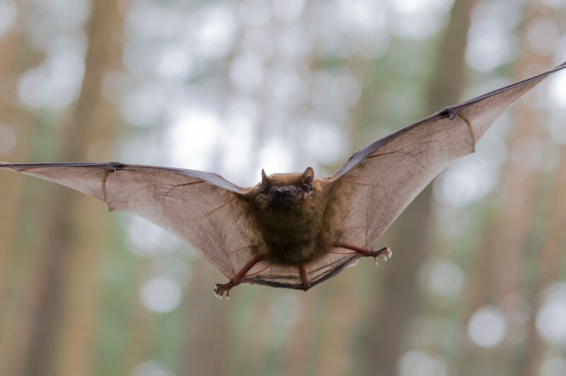 Image of a bat in flight