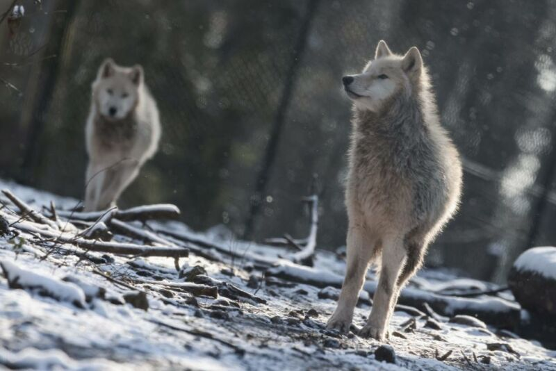 Image of two wolves.