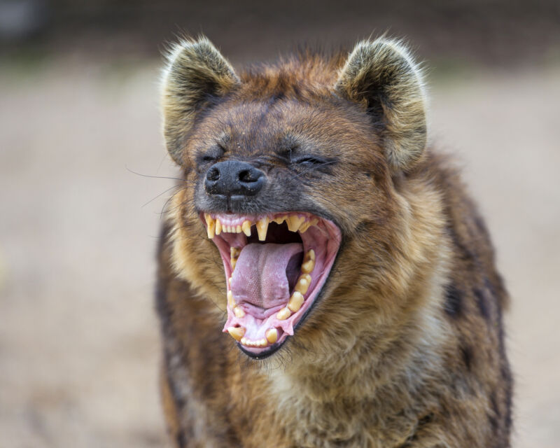 """The stuff we call """"laughter"""" from hyenas? It's not."""