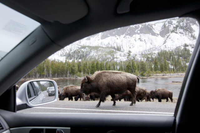 Yellowstone National Park, View through window driving past herd of Bison walking along the road in the snow.