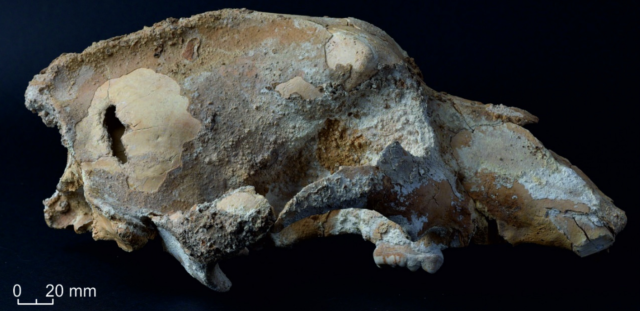 The hole on the parietal bone (left side of photo) matches the cross-section of stone projectile points also found in the cave.