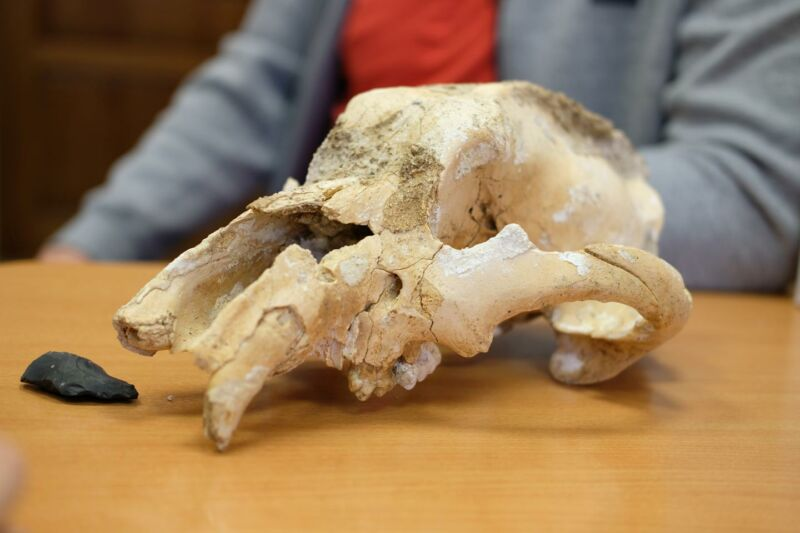 Someone stabbed a cave bear in the head with a spear 35,000 years ago