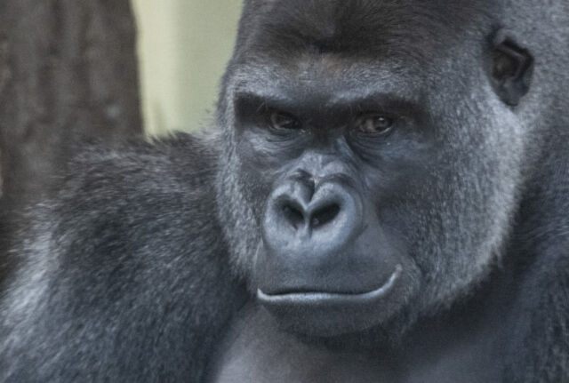 Don't let this male gorillas scowl fool you—he likely lets kids hang around.