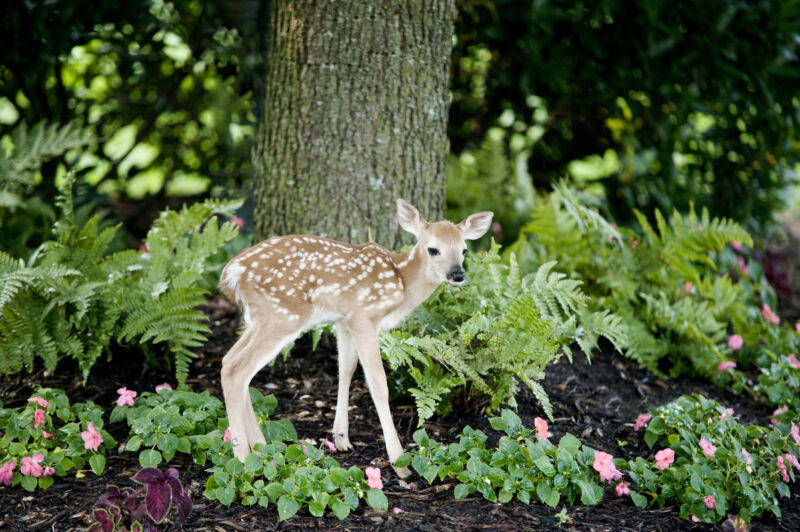 Image of a young deer.