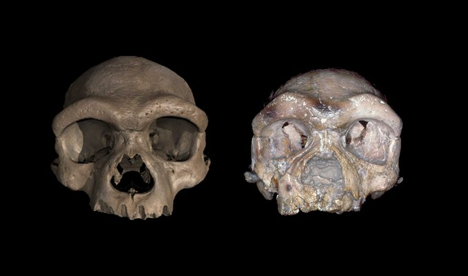 Two early-human skulls against a black background.