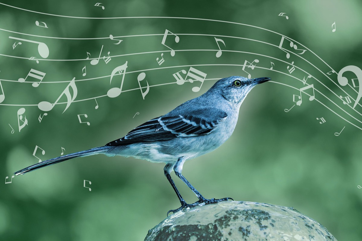 The mockingbird employs musical techniques similar to those of humans.
