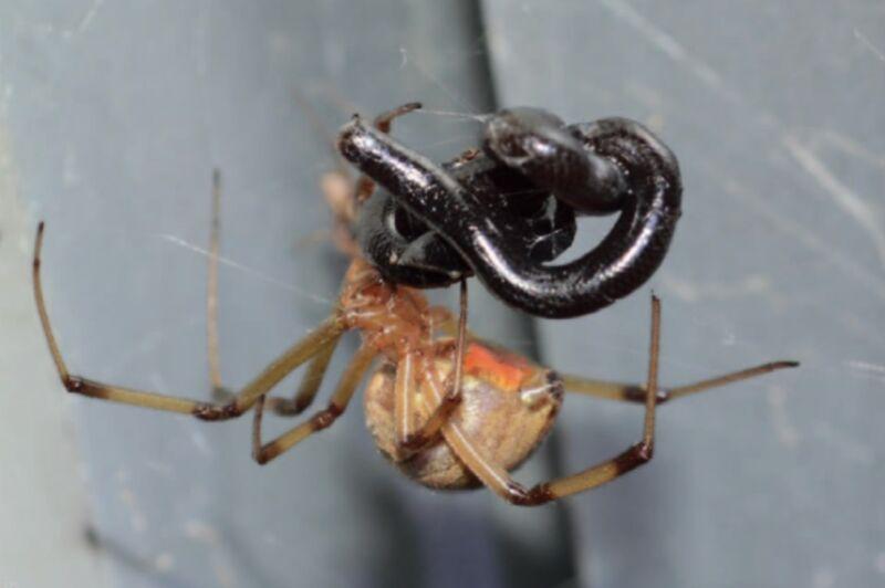 A brown widow spider feeding on a Brahminy blindsnake in a garden house in Zaachila, Oaxaca, Mexico.