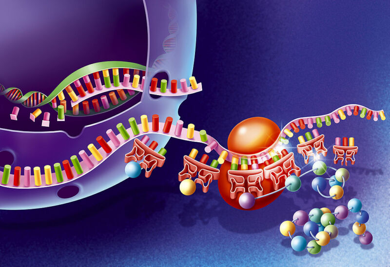 A cartoon of the process that translates the genetic code in DNA into a protein.