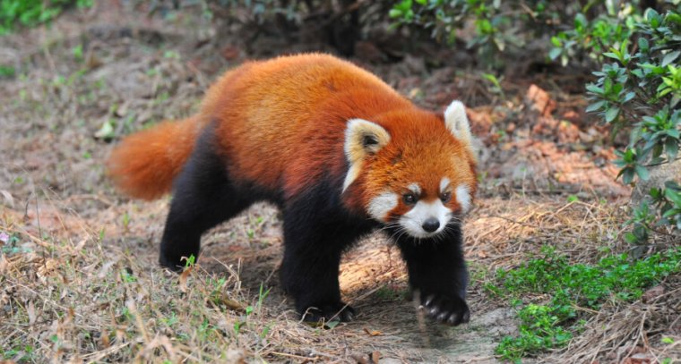 This menacing firefox seems to be on the prowl for unwanted third-party cookies.