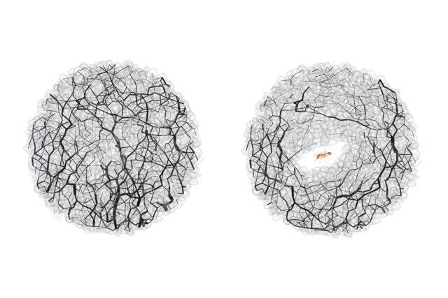 Gaya granular (garis hitam) di lokasi yang sama di tanah sebelum (kiri) dan setelah (kanan) terowongan semut.