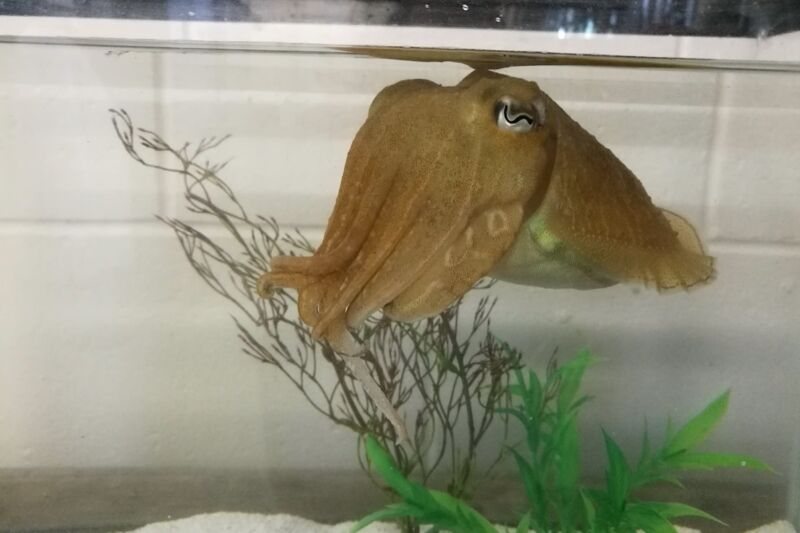 A cuttlefish leisurely hanging out in a tank. A new study found that cuttlefish can remember specifics of place and time for receiving their favorite yummy food rewards.