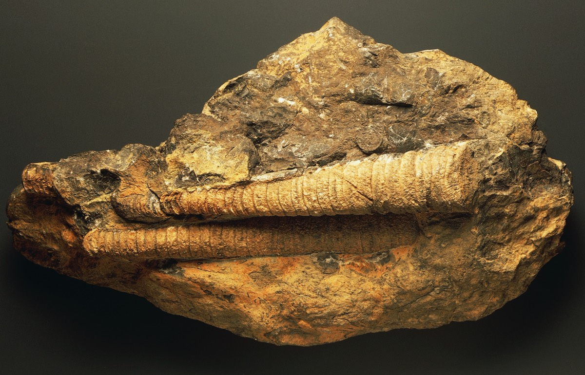 Internal orthocone shell molds of two orthocones, Devonian Period.