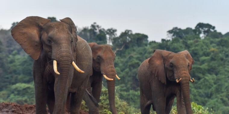 Poaching drove the evolution of tusk-free elephants
