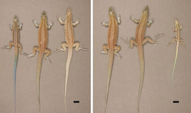 On the left half of the image, a hybrid parthenogenetically-reproducing daughter rests between her parent species; at right are second, third and fourth generation descendants of the hybrid.
