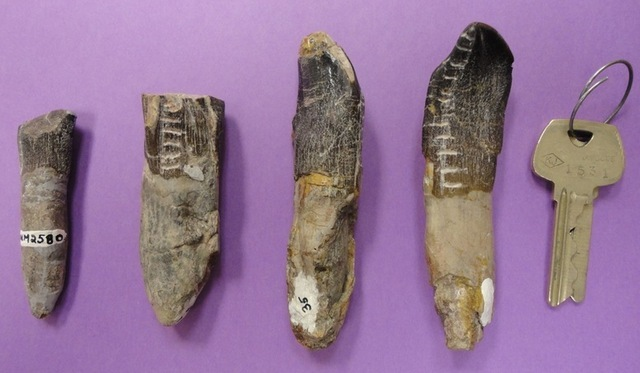 Some of the teeth used in the analysis, along with the keys to the lab door for scale.