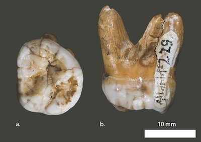 The 40,000 year-old tooth from which Denisovans were first identified in 2010