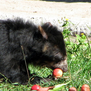 This spectacled bear is enjoying a meal of apples, in part thanks to a functional Tas1r2 receptor
