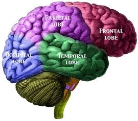 BrainLabelled.jpg
