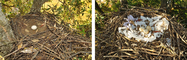 The two decorative extremes in black kite nests.