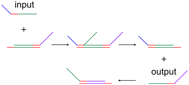 An input (top left) can be added to a DNA logic gate preloaded with an output. The input starts base-pairing with the gate and can eventually displace the output molecule (right). That output can then be used as input to a different gate (bottom).