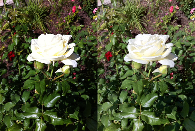 Subtle details like the shading of a white rose petal can get easily lost in harsh light. iOS 4.1's HDR feature can bring them back.