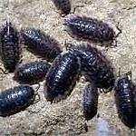 Pillbugs!