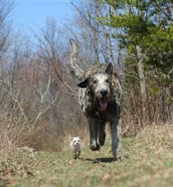 Dogs like the Irish Wolfhound (right) and the Chihuahua dramatically illustrate the size difference among breeds. Dogs exhibit the greatest diversity in body size of any mammalian species.  Credit: Tyrone Spady, NHGRI