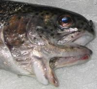Double-mouthed fish