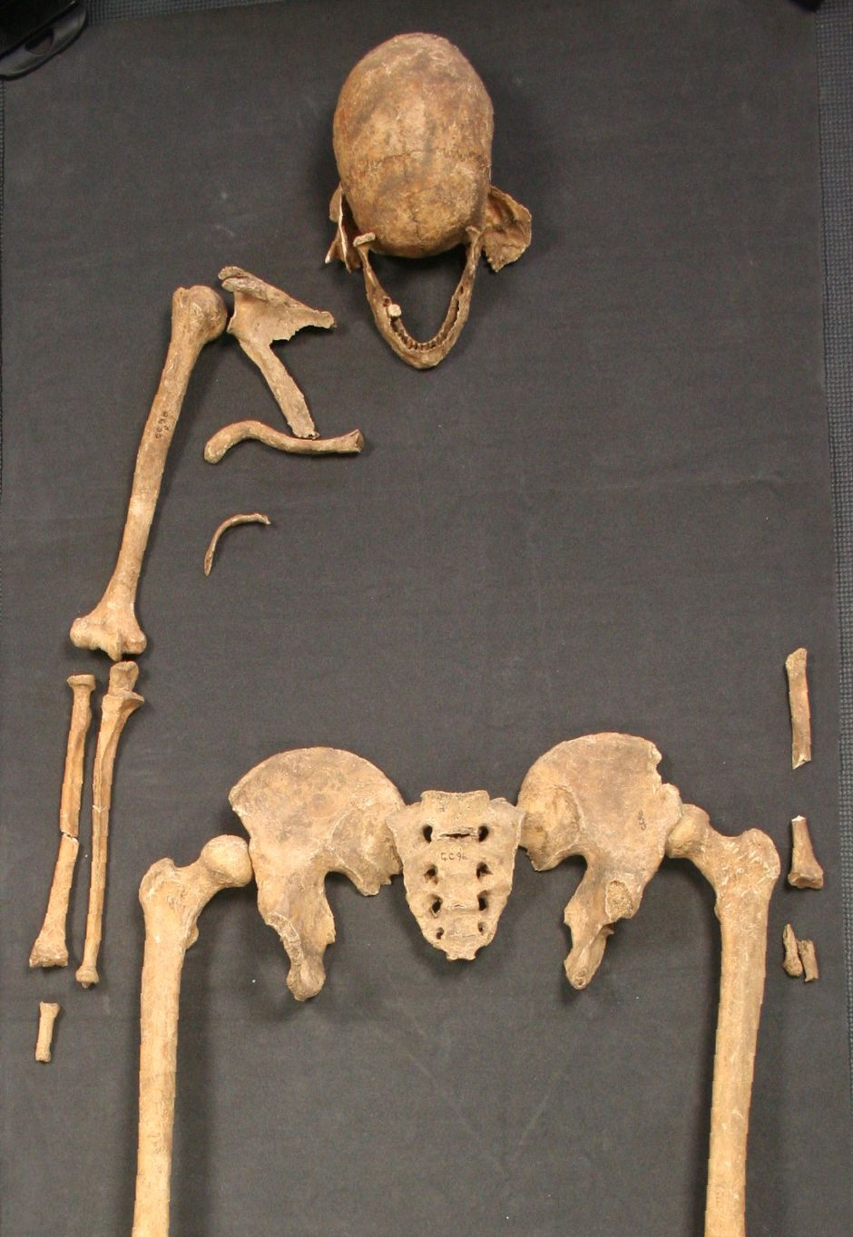 A cropped view of the Great Chesterford skeleton (GC96)