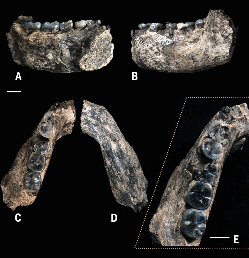 The Ledi jaw, showing Homo-like straight molars.