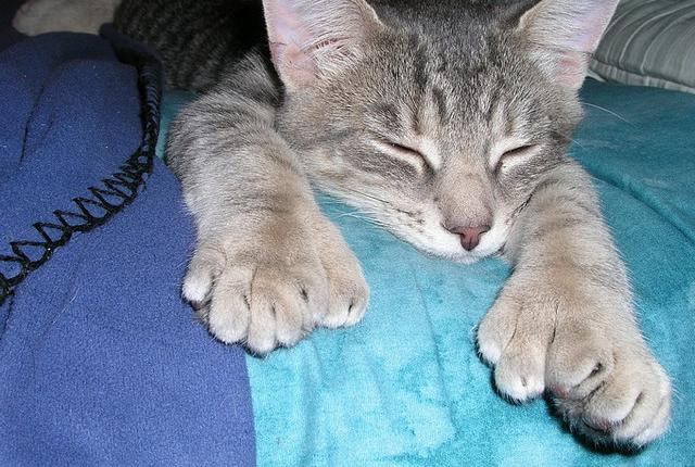 A polydactyl cat—i.e. a cat with more than the usual number of toes
