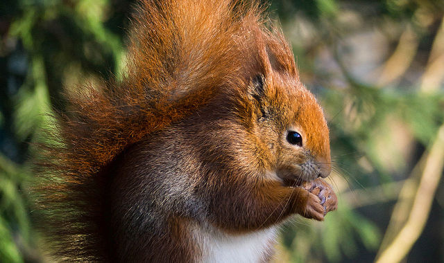Britain's favourite squirrels may not be as harmless as they appear | Ars Technica UK