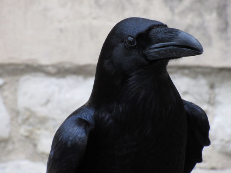 Study suggests ravens are great at planning ahead