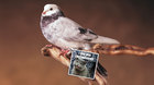 What's faster than rural Internet uploads? Carrier pigeons